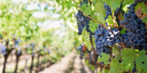 Les vins AOC du pic Saint-Loup