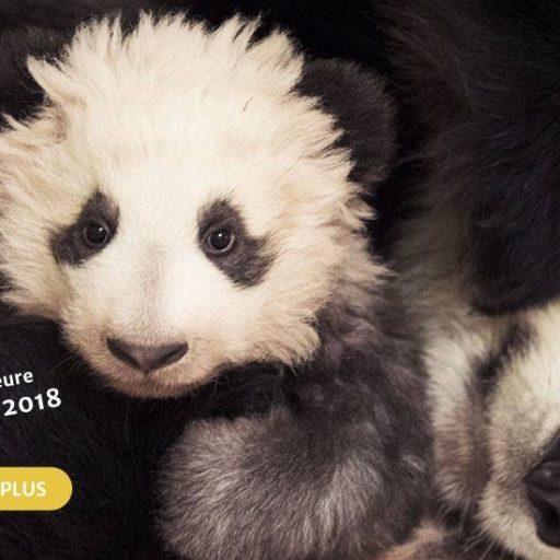 Panda à Beauval